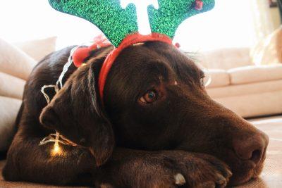 dog wearing holiday headband